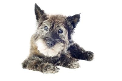目が白い犬