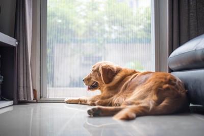 窓の外を見るゴールデンレトリーバー