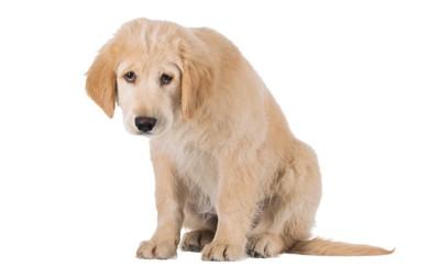 悲しい表情のゴールデンの子犬、白い背景