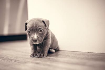 悲し気な表情のグレーの子犬