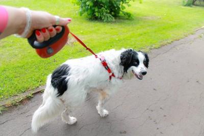 赤いフレキシブルリードを付けた白黒の大型犬