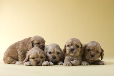 5匹の子犬