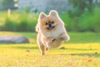笑顔で走るポメラニアン