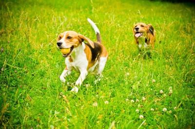 走っている2頭のビーグル
