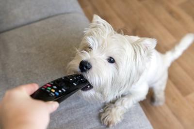 飼い主の持つリモコンを噛む犬
