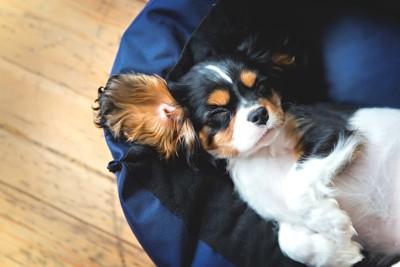 青い自分のベッドで寝る犬