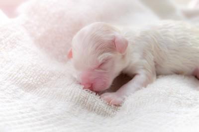 生まれたての子犬