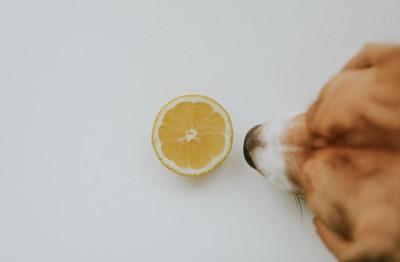 レモンの匂いを嗅いでいる犬
