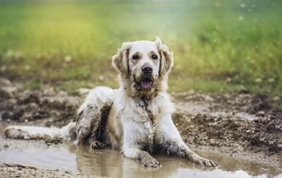 泥でふせをする白い犬