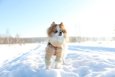 雪の上のポメラニアン