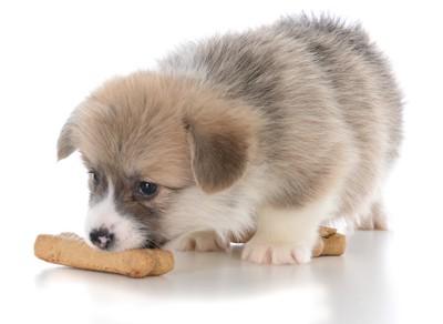 オヤツを食べる子犬