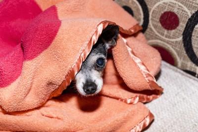 毛布に隠れている犬
