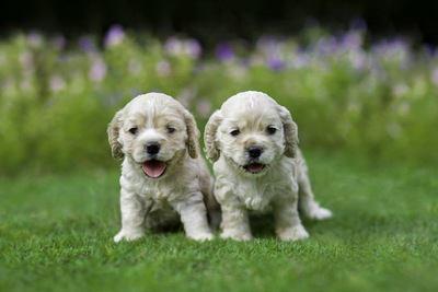 芝生の上でたたずむ2匹のアメリカンコッカースパニエルの幼犬