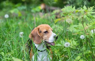 草むらを歩く犬