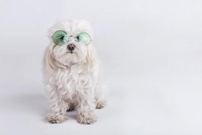 丸いサングラスをした白い犬