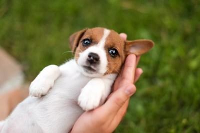 手のひらの上の子犬