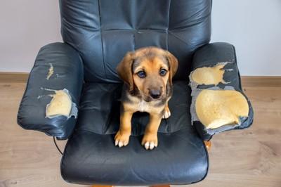 ボロボロになった椅子に座る犬