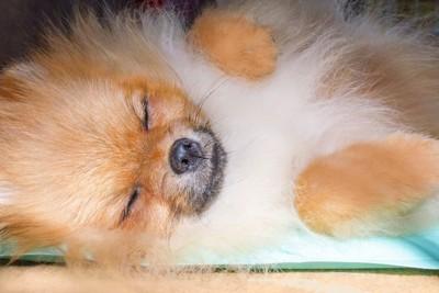 水色の冷感マットに寝ているポメラニアン