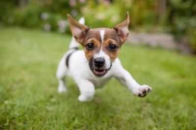芝生で飛び跳ねる子犬