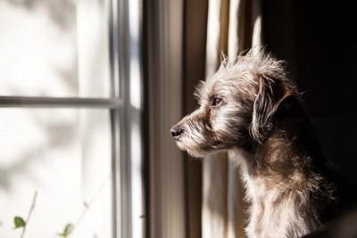 窓から外を見つめる犬