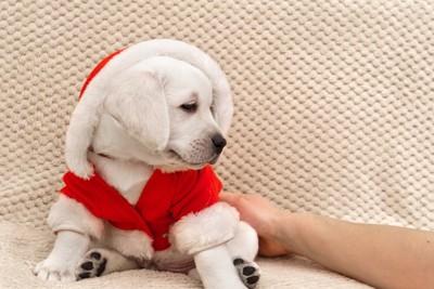 赤い洋服を着た白い子犬