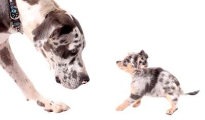 グレートデンと子犬
