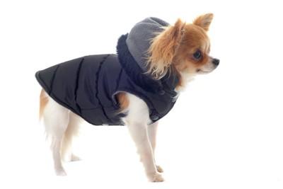 ダウンコートを着たチワワ