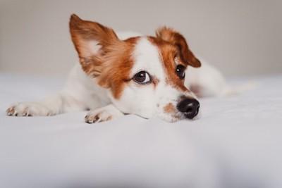 耳を立てる犬
