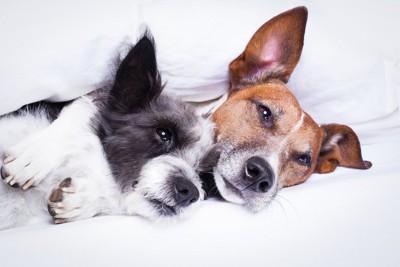 くっついて布団に入る2匹の犬