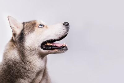 上を見ているハスキー犬の横顔