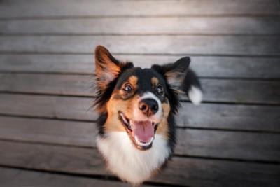 笑顔で見つめるオーストラリアン・シェパード