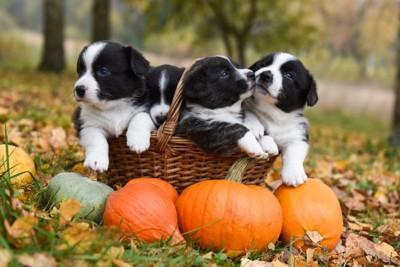 かぼちゃと子犬たち