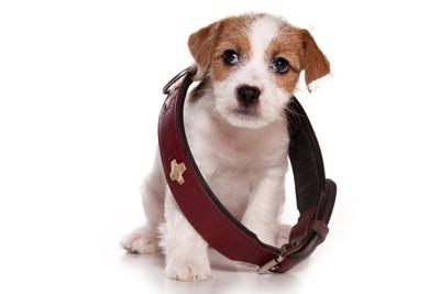 ジャックラッセルの子犬と大きな首輪