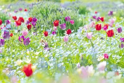 チューリップの咲いている花畑