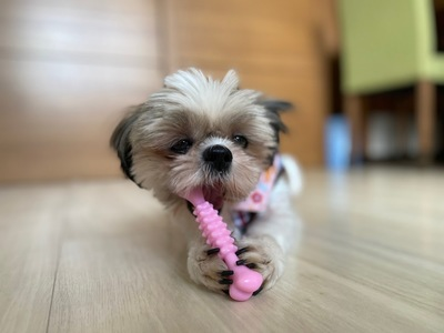 ピンクのおもちゃと映るポムル