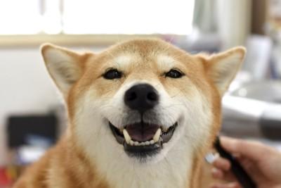 微笑む柴犬の顔アップ