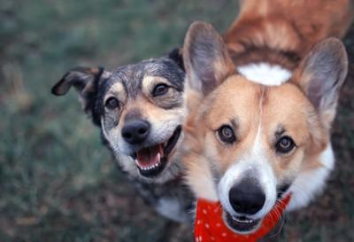笑顔で見上げる犬2頭