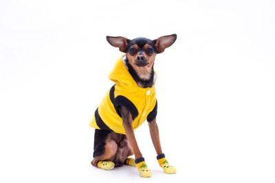 黄色い靴下と服を着た犬