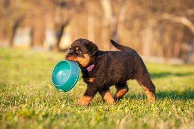 お皿を運ぶ子犬