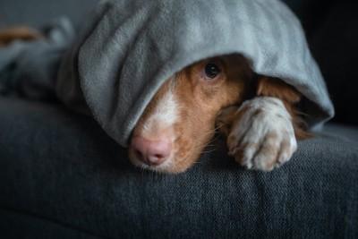ブランケットに包まれて隠れている犬