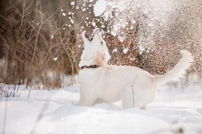 雪を咥えようと口を開けている子犬