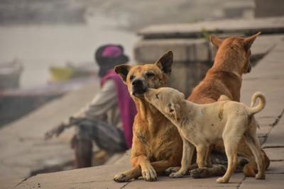 母犬の顔を舐める子犬