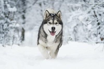 雪の上を走るマラミュート