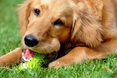 芝生でおもちゃを噛んでいるゴールデン
