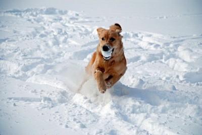 雪の玉をくわえて走る犬