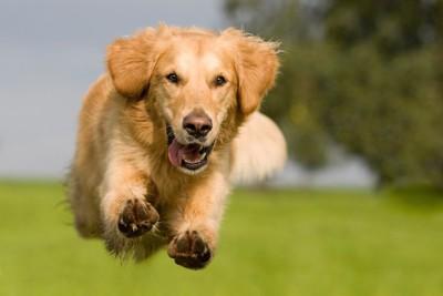 元気いっぱいに走る犬