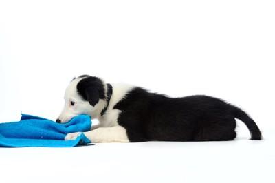 青いタオルを噛んでいる子犬