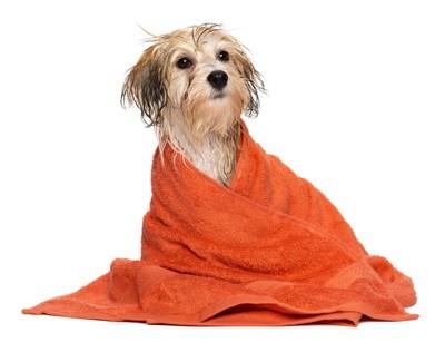 オレンジのタオルに包まれている犬