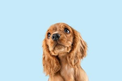 斜め上を見るコッカースパニエルの子犬