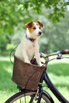 自転車のかごに乗るジャックラッセルテリア